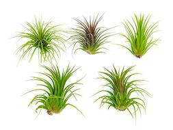 6 Lowlight Air Plant Pack - Live Low-Light Plants / Indoor T