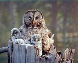 Great Grey Owl Family Bird Wildlife Animal Wall Decor Art Pr