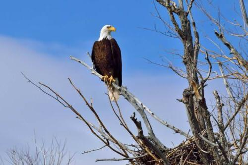 wild animals photography poster bald eagle home