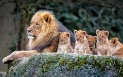 Office decor wild animals photography poster lion mom baby